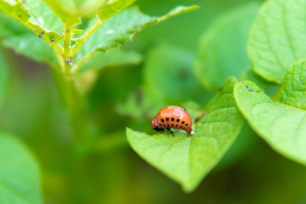 콜로라도 딱정벌레의 유충은 감자 잎을 먹고 있습니다.