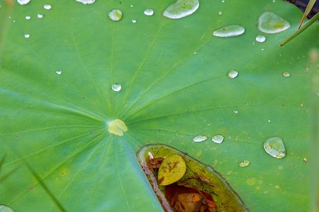 야외에서 연꽃의 잎