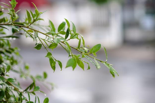 Листья не лиственные под дождем. есть капли в листьях, побегах, листьях, мягких листьях
