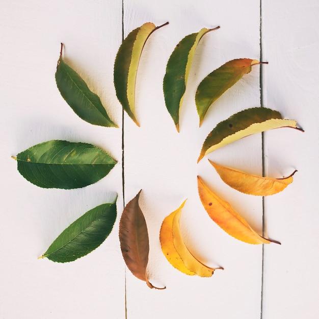 Листья меняют цвет с зеленого на коричневый.