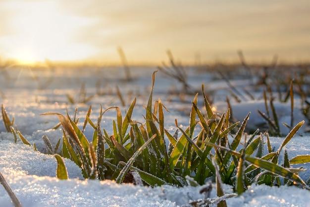 겨울 밀의 잎이 눈 아래에서 내다 보면 아침 햇살이 아침 서리에 얼어 붙은 잎을 따뜻하게합니다.