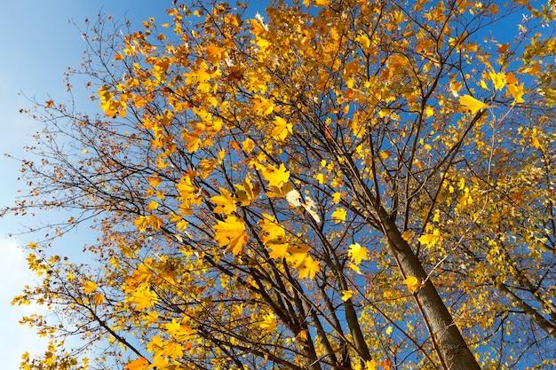 公園の木々の葉は黄色の葉に変わりました。秋の季節に。