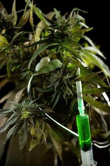 합법적인 대마초 식물 연구 및 질병 치료를 위한 의료 목적 사용