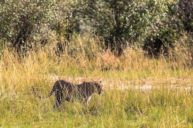 Леопард идет по траве. кения, африка