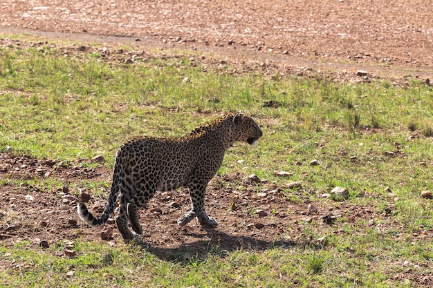 Леопард идет по траве. саванна кении, африка
