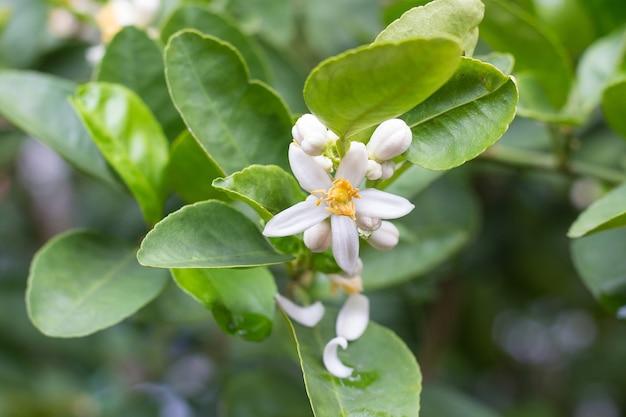 Цветки лайма желтовато-белого цвета, которые могут развиться в плоды.