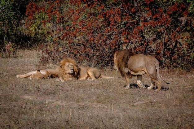 Лев и львица отдыхают, лежат на траве. к ним идет еще один лев. парк тайган.