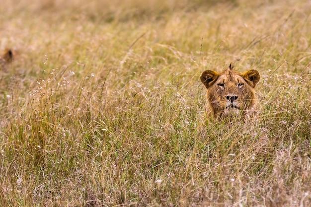 Лев отдыхает в густой траве. кения, африка