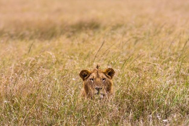 獲物を見ているライオン。ケニア、アフリカ