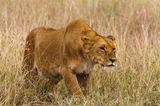 雌ライオンは獲物まで忍び寄ります。アフリカ