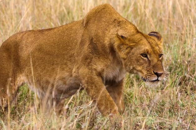 雌ライオンは獲物まで忍び寄ります。ケニア、アフリカ