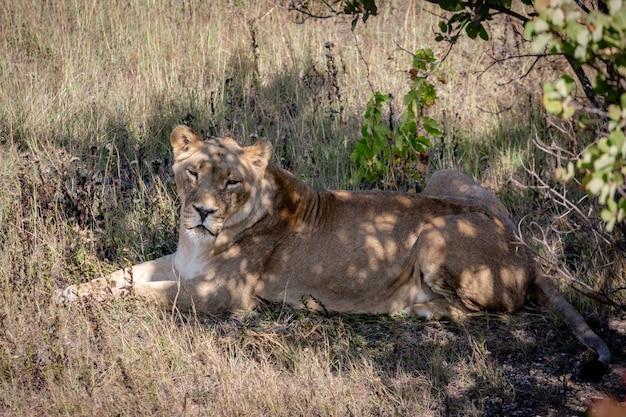 Львица отдыхает в тени деревьев. лежит на земле, смотрит в камеру.