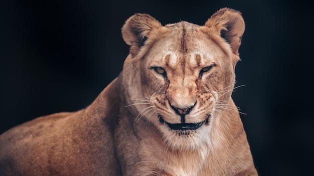 雌ライオンはずる賢く微笑む。恐ろしい捕食者。
