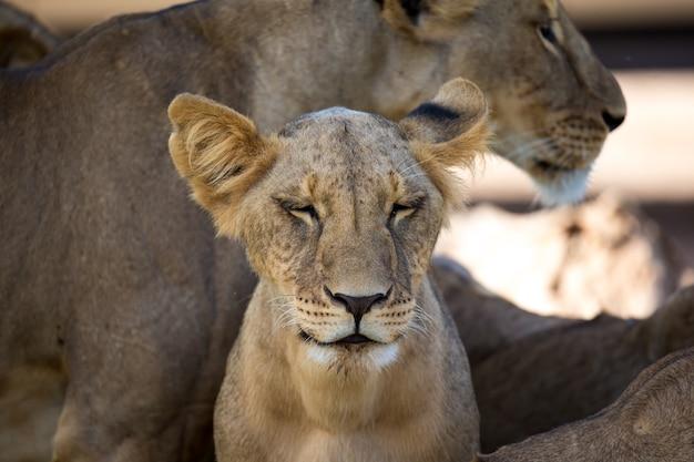 ライオンはサバンナの草の中に休んでいます