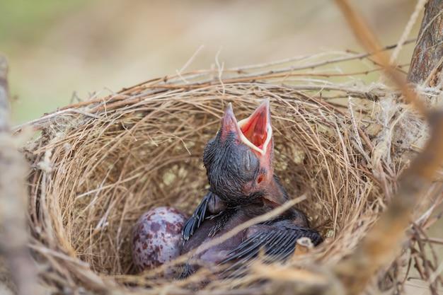 Маленькая птичка в гнезде спит, ожидая, когда мать войдет в еду.