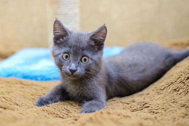 Маленький серый котенок Premium Фотографии