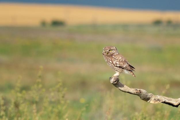 The little owl athene noctua 성인 올빼미는 막대기에 앉아