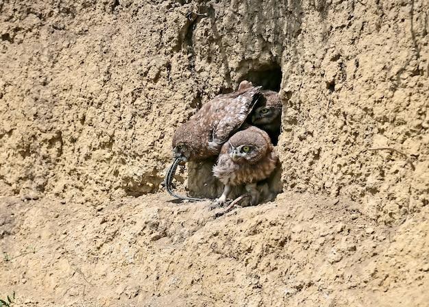 巣を離れた後のさまざまな面白い状況のコキンメフクロウのひよこ。彼らは好奇心を持って自分たちの周りの世界を研究しています。