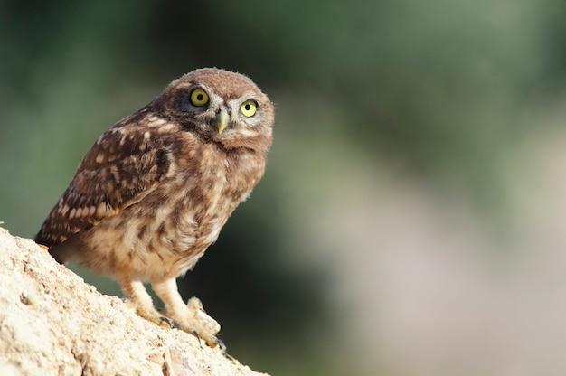 立って、美しい背景の上のカメラを見ている小さなフクロウ。