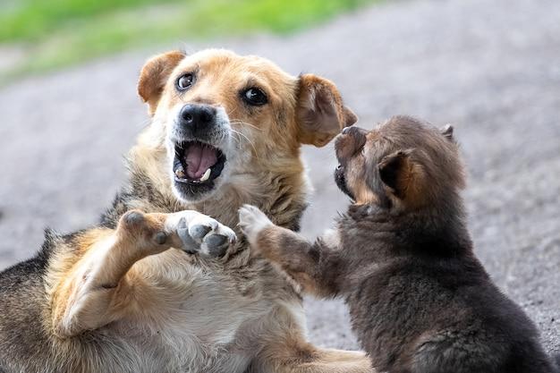 小さな子犬は母親と遊んでいます。ママは小さな子犬を飼っている犬です