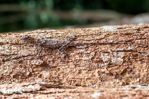 トカゲは木の幹に変装し、ほとんど見えません