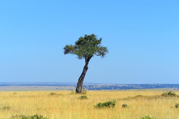 외로운 나무. 동부 아프리카 케냐 국립 공원