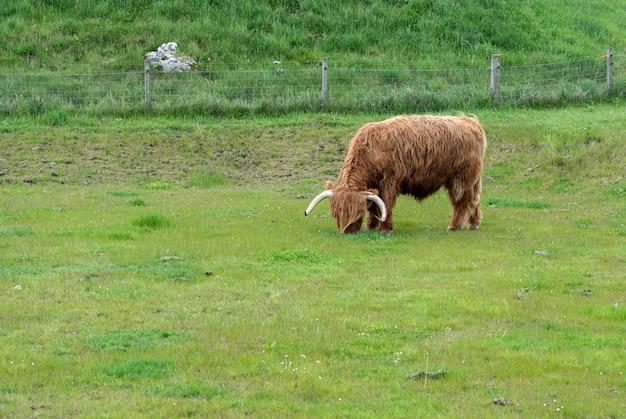 Длинношерстная корова хайленд ест траву