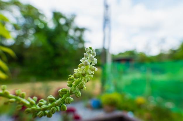 Длинные бело-зеленые тычинки покидают стебли. он процветает, принося радость производителям и тем, кто