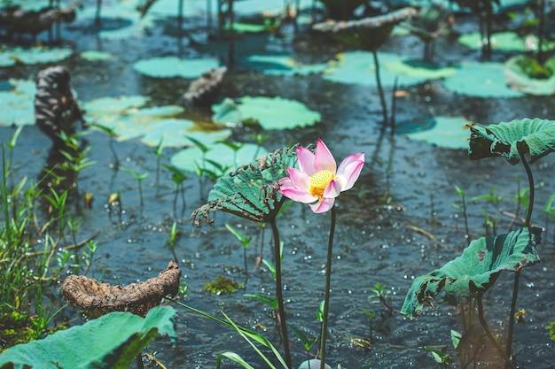 연잎과 연분홍 연꽃의 늪