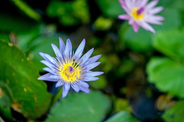 물 속에서 자연적으로 발생하는 연꽃