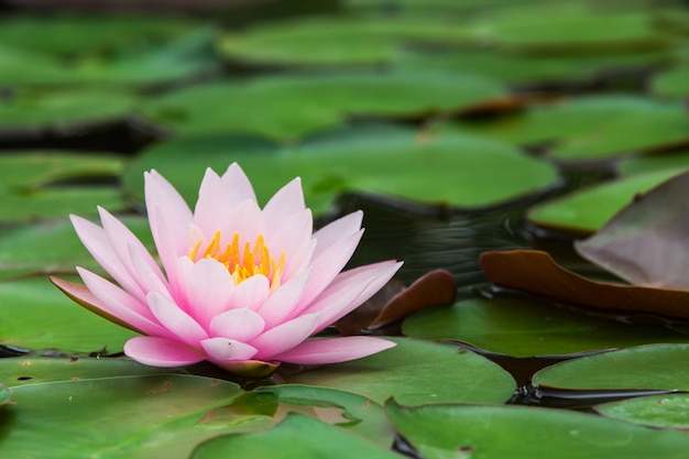 庭の美しい色の蓮。
