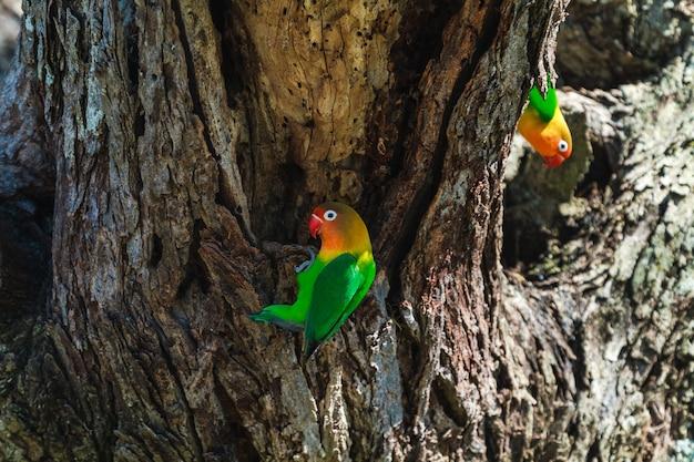 Неразлучник выбирает гнездо в дупле, серенгети, танзания.