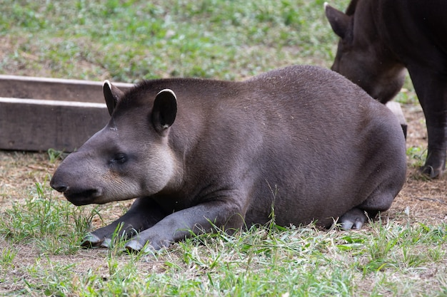 Низменный тапир, также известный как тапир, является периссодактильным млекопитающим семейства tapiridae.