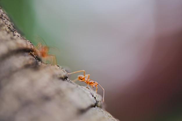 Конец-вверх макроса красного муравья ткача на дереве.