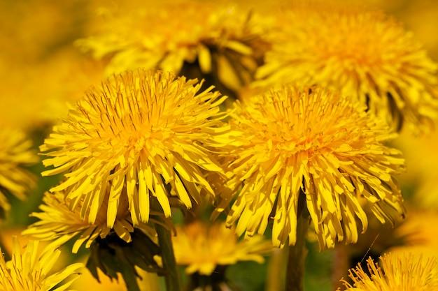 タンポポの花のマクロ写真。シャープネスの深さが小さい
