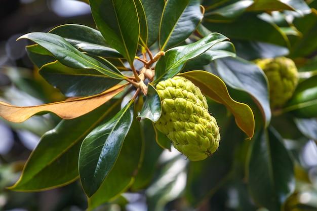 목련 나무는 씨앗 꼬투리 또는 콘 또는 과일을 보여줍니다.