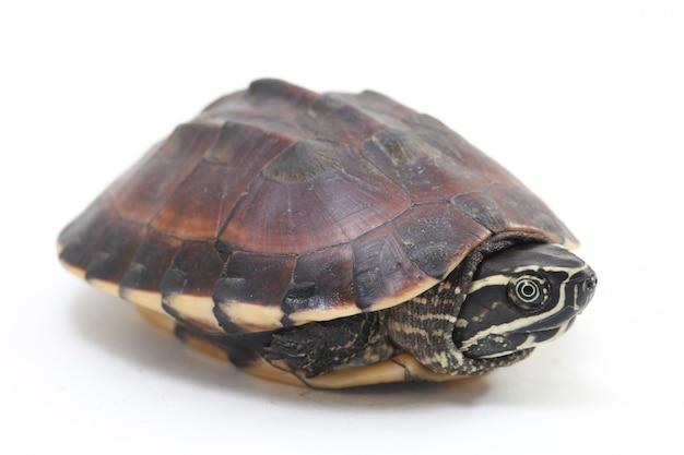 Малайская черепаха-улитка на белом пространстве