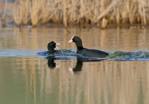 Самец евразийской лысухи преследует самку в воде во время сезона размножения