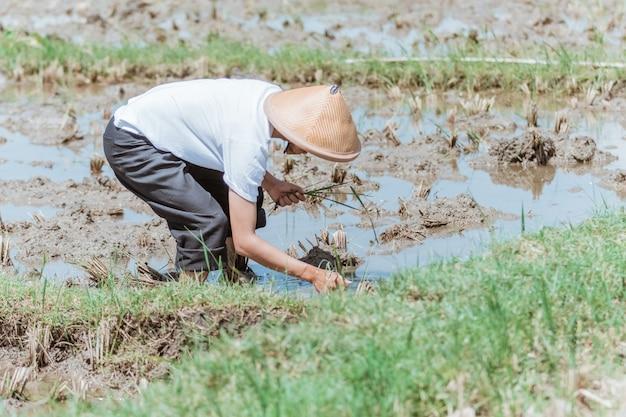 Мужчина-фермер носит шляпу, когда наклоняется, чтобы сажать рис на полях.