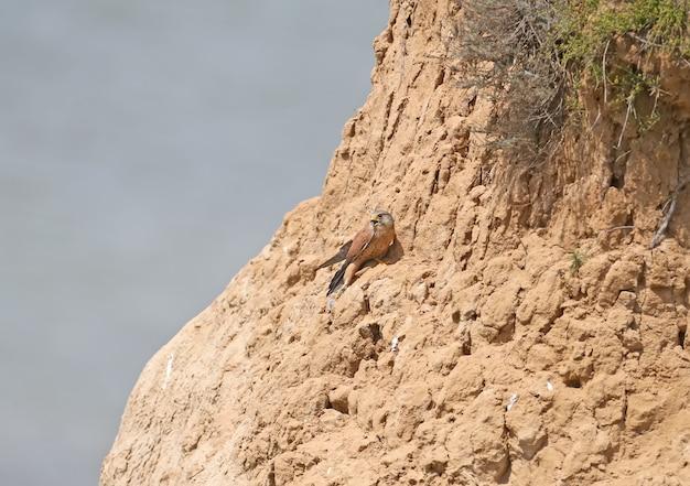 Самец пустельги сидит на высокой скале и держит в лапке пойманную мышь.