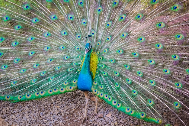 雄の孔雀は美しい羽を見せています。