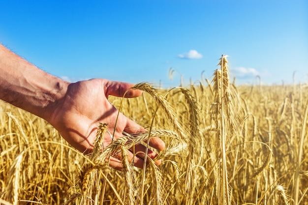 Рука человека касается рассвета на золотых колосках пшеницы в бесконечном поле. красивое голубое небо. концепция уборки урожая