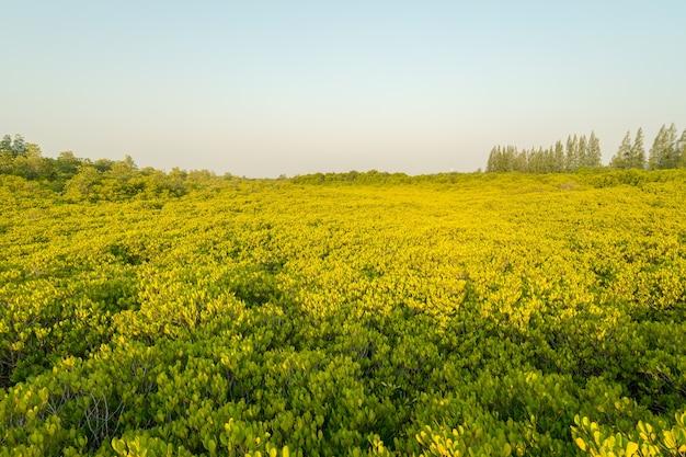 Мангровые леса или золотое мангровое поле - известное место для природного туризма в районге