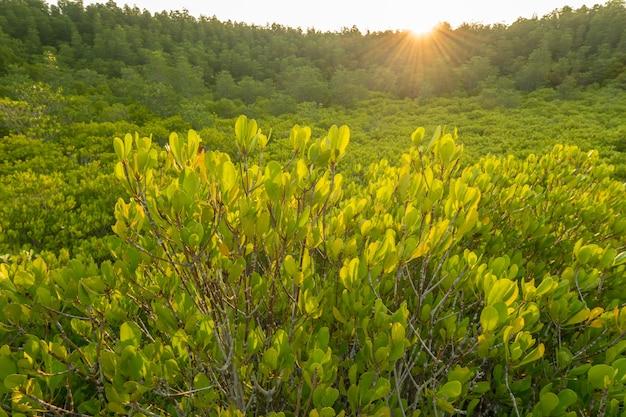 Мангровые леса или золотое мангровое поле (тунг тонг тонг) в клаенге, районг таиланд