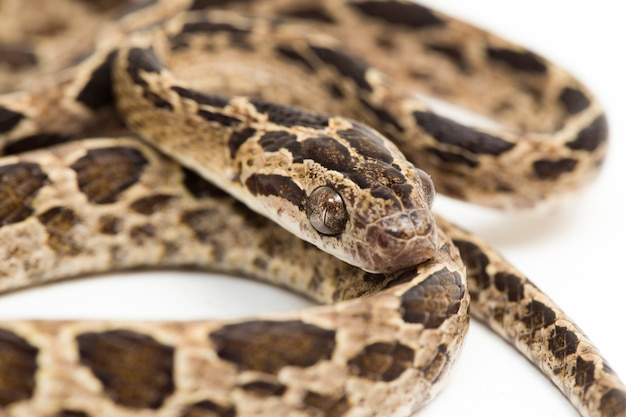 Многоцветная кошка змея boiga multomaculata, изолированные на белом фоне