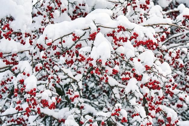 雪に覆われたナナカマドの成熟した赤い果実