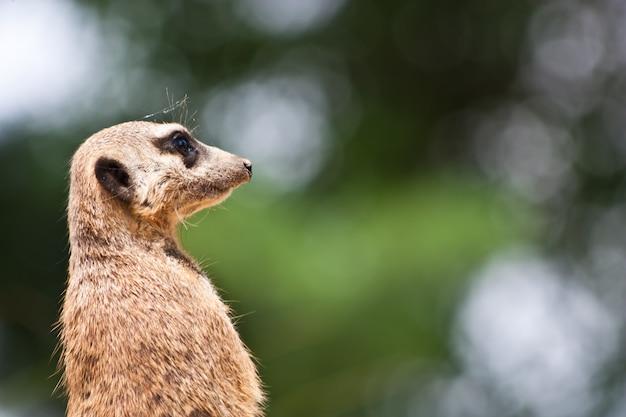 ミーアキャットまたはスリケート、suricata suricattaは、マングース科に属する小さな哺乳類です。