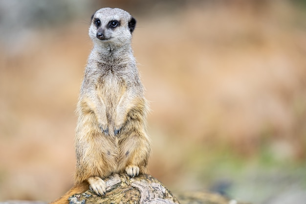 Сурикат, suricata suricatta или suricate - это маленький карнавор из семейства мангустов. это единственный представитель рода suricata