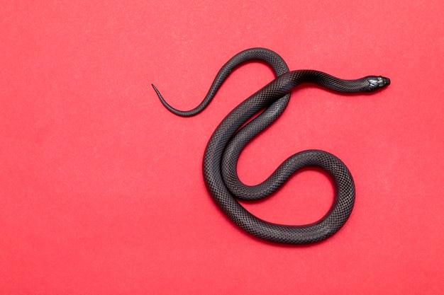 メキシコのクロキングヘビは、ナミヘビのより大きなナミヘビ科の一部であり、コモンキングヘビの亜種です。