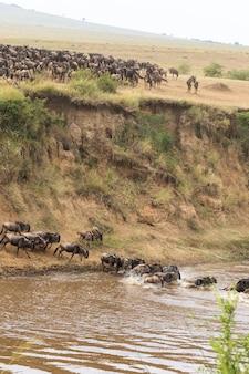 Миграция больших стад антилоп гну кения африка Premium Фотографии